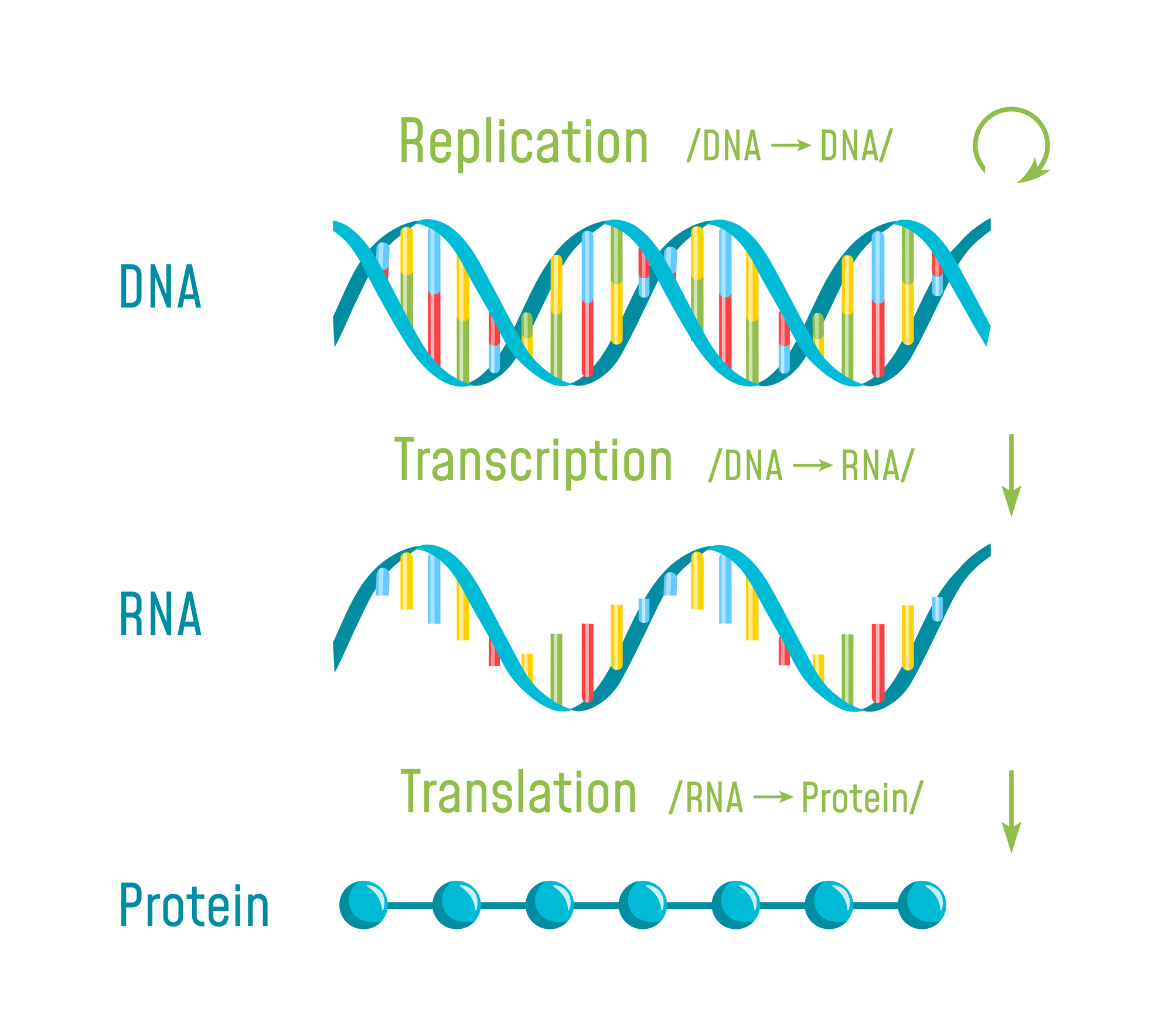 Why mRNA Translation is So Important for Therapeutics